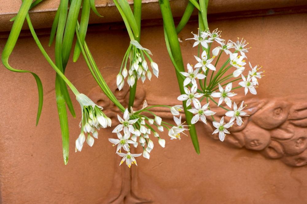 L'erba cipollina è fiorita 02.jpg